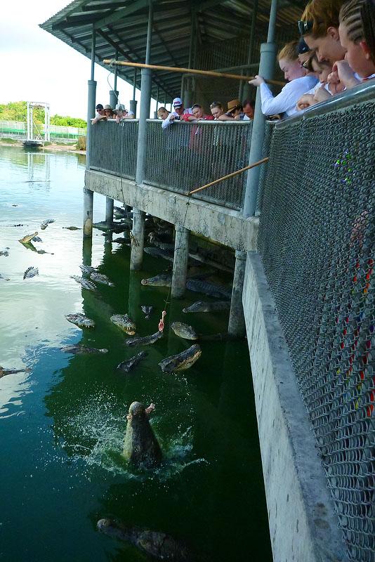 Поймал момент, когда ккрокодил схватил курицу (серийная съёмка со скоростью 3,7 кадров сек)