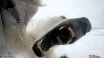 Белый медведь глазами жертвы