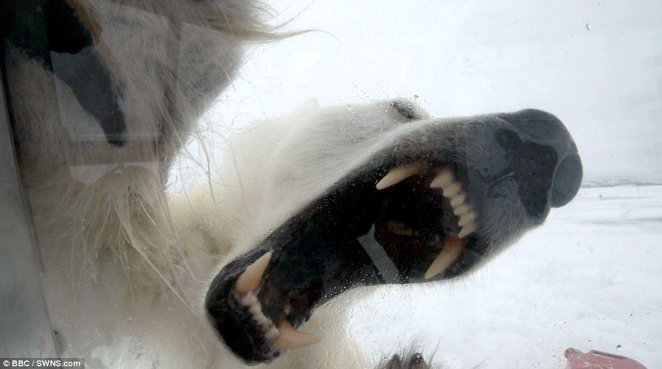 Белый медведь пытается съесть человека
