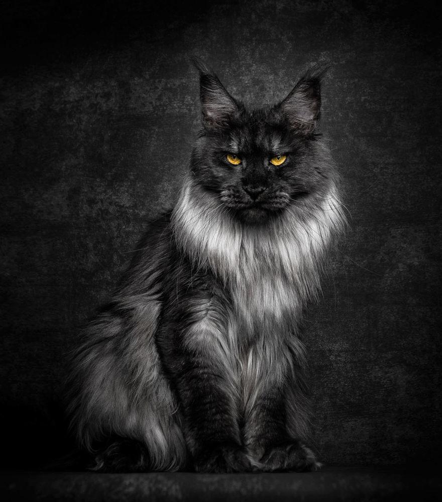 Посмотрите на эти снимки и вы поймете, почему весь мир обожает котов мейн-кун