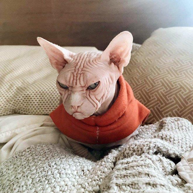 Локи – самый сварливый кот породы Сфинкс