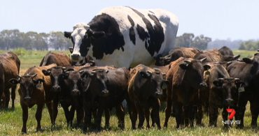 В Австралии нашли корову ростом в 2 метра