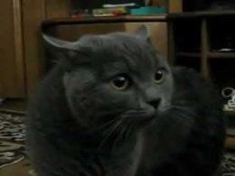 Ревнивый кот ругает новоявленного парня хозяйки . Ну очень смешно!
