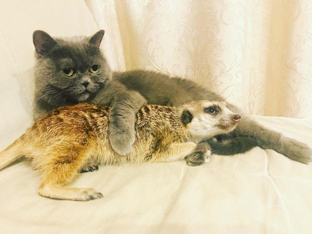 Умиляющая парочка: сурикат и кот покорили интернет