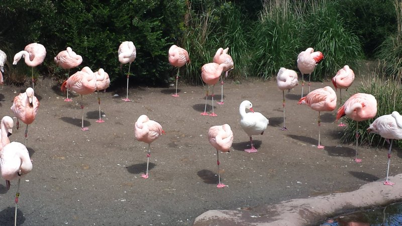 Утка больше месяца живет в колонии фламинго